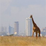 giraffe in front of skyskrapers, nairobi