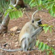 vervet monkey, tiwi, kenya