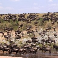 wildebeests in masai mara national reserve, kenya