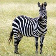 a zebra in masai mara national reserve, kenya