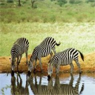zebras drinking at a waterhole, kenya