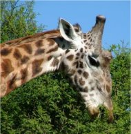 giraffe in naivashu, kenya