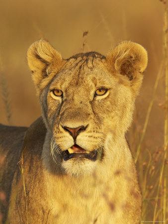 lioness masai mara national reserve, kenya
