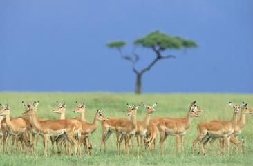 impala, masai mara national reserve, kenya