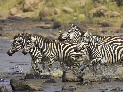 common-or-burchells-zebra-crossing-mara-river-masai-mara-kenya