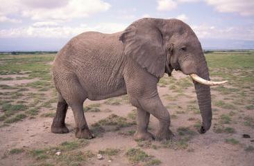 african elephant, amboseli, kenya