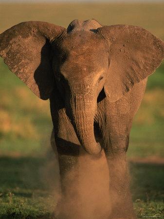 baby elephant dust bathing at masai mara, kenya