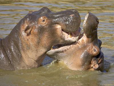 bathing hippos, masai mara, kenya