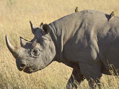 black rhino with yellow billed oxpecker, kenya