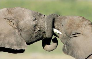 elephant calves in amboseli national park, kenya