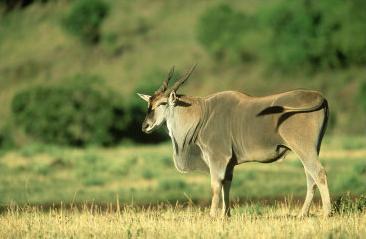 giant eland, masai mara, kenya