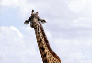 Giraffe at Nairobi National Park, Kenya