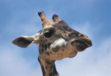 giraffe, masai mara, kenya
