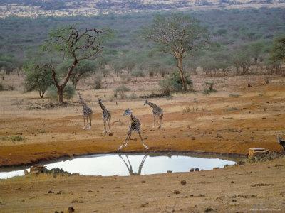 Giraffes in Tsavo West Narional Park, Kenya
