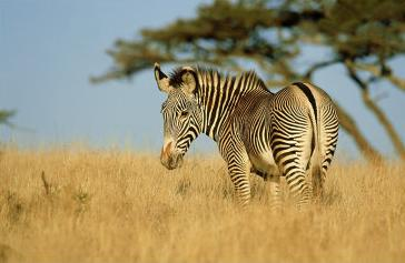 grevys zebra, lewa, kenya