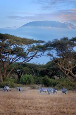 Zebras at the foot of Kilimanjaro