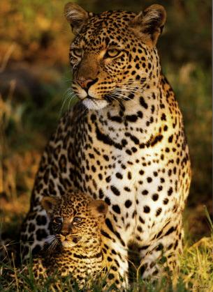leopard-with-infant-masai-mara-national-reserve-kenya