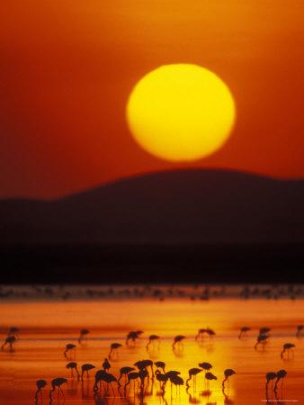 lesser flamingos at sunrise, amboseli national park, kenya