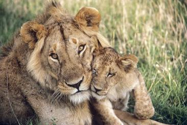lion with cub, masai mara national reserve, kenya