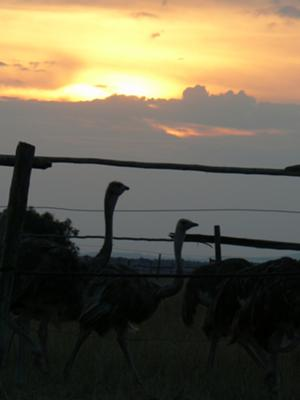 Ostriches in Kitengela