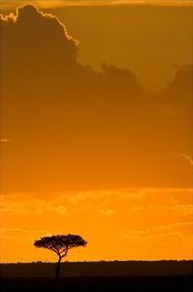 masai mara, kenya, acacia tree