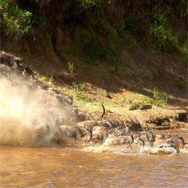 wildebeest migration, masai mara national reserve, kenya