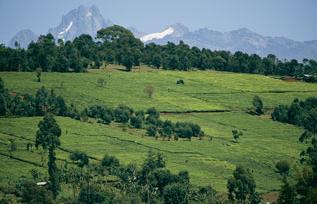 tea plantations, mount kenya national park, kenya