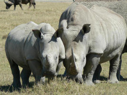 Rhinos in Sweetwaters, Kenya