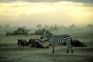 plains zebra at dusk, kenya