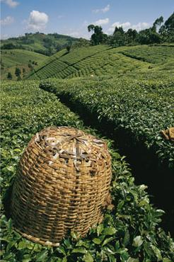 tea plantations near mount kenya