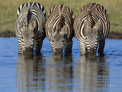 common zebra drinking water, masai mara, kenya