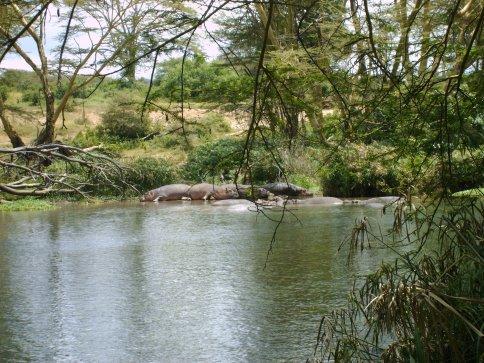 Hippos in Mzima Springs, Tsavo West National Park, Kenya