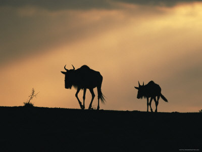 two wildebeests at sunset, kenya