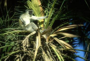 vervet monkey, amboseli national park, kenya
