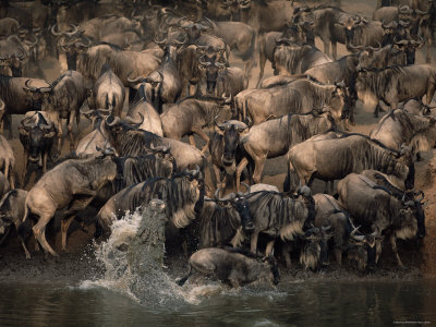 wildebeest-migration-crocodile-attacking-mara-river-masai-mara