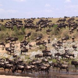 masai mara, wildebeest migration, kenya