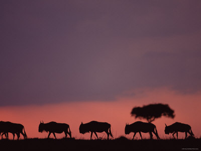 wildebeests at dusk, masai mara, kenya