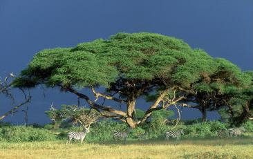 zebras and acacia tortilis tree at the plains of kenya