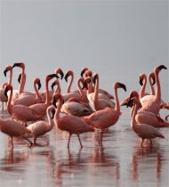 Pink Flamingos at Lake Nakuru, Kenya