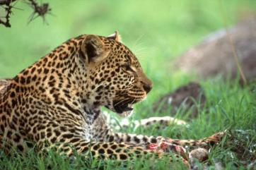 leopard, kenya