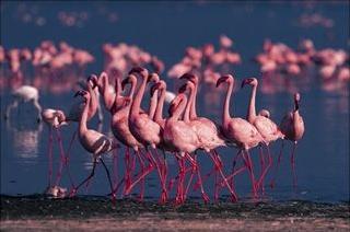 Lesser flamingo at lake nakuru national park, kenya