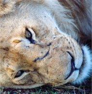 Head of a lion in Masai Mara National Reserve