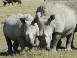 Rhinos in Sweetwaters, Kenya