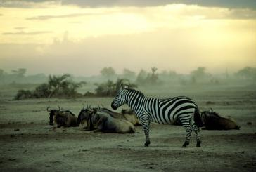 plains zebra at dusk, kenya