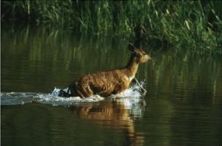 sitatunga antelope wading through water