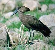 The Hammerkop