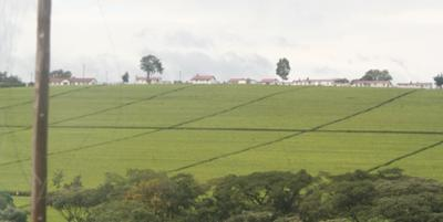 the tea estate in kericho