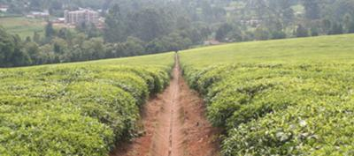 tea estate in kericho