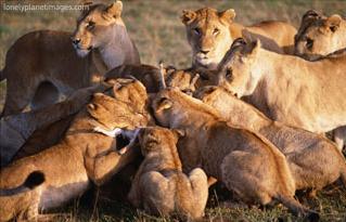 lions consume a thompsons gazelle, masai mara, kenya