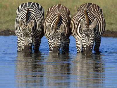 common zebra drinking water, masai mara, kenya